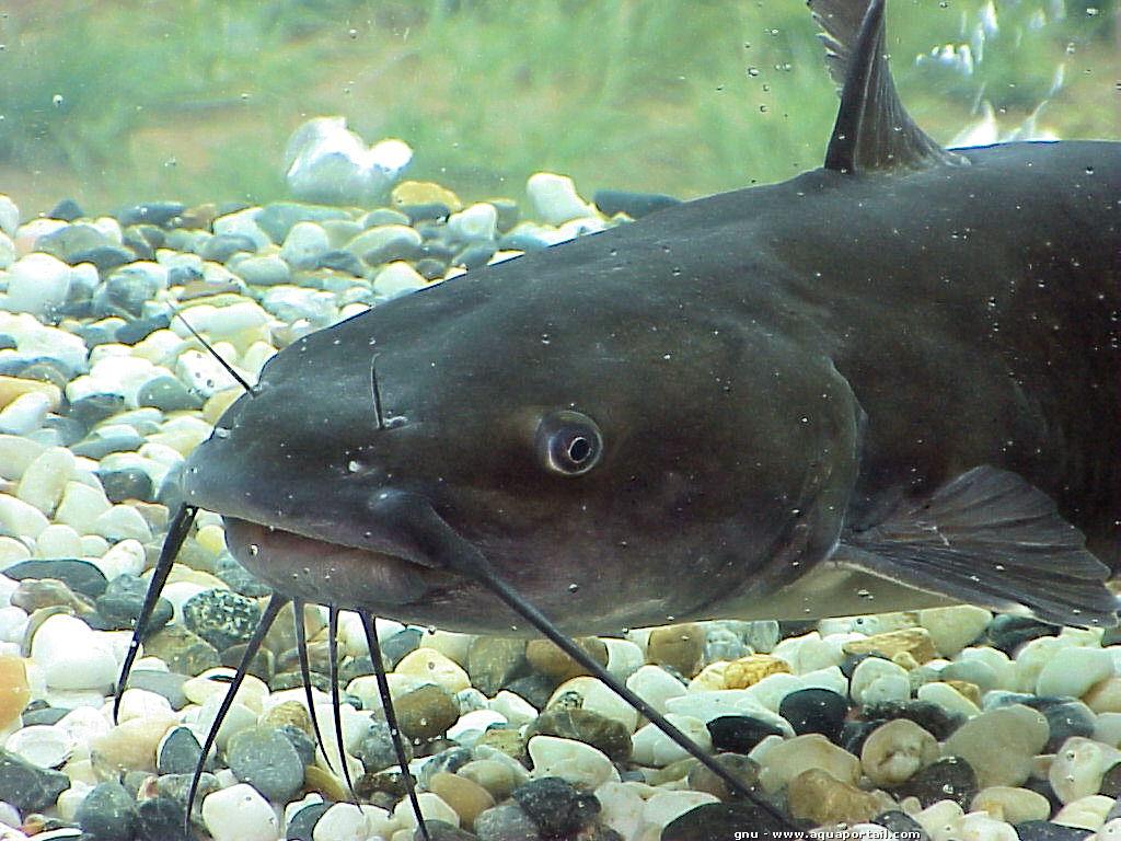 Quel poisson n'est pas nuisible? (La remise à l'eau d'un poisson nuisible est interdite !)
