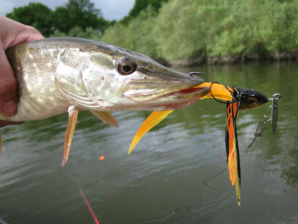 Lequel parmi ces poissons n'est pas un carnassier ?